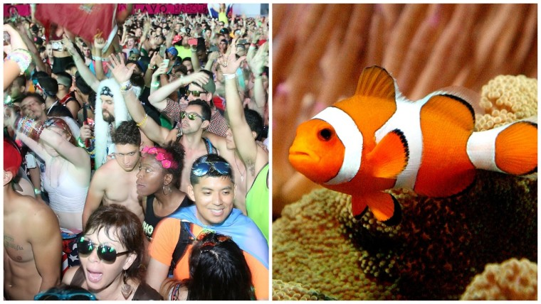 EDM is traumatic for fish swimming nearby, study finds